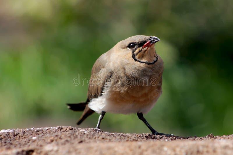 Pratincole pratincole ou à ailes rouges pratincole et commun colleté image libre de droits