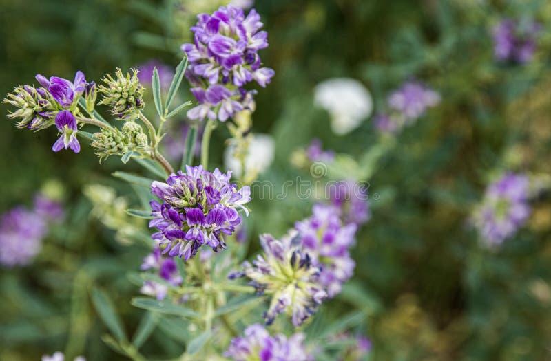 Prato alpino del paese di Colorado del wildflower porpora della montagna rocciosa alto fotografia stock libera da diritti