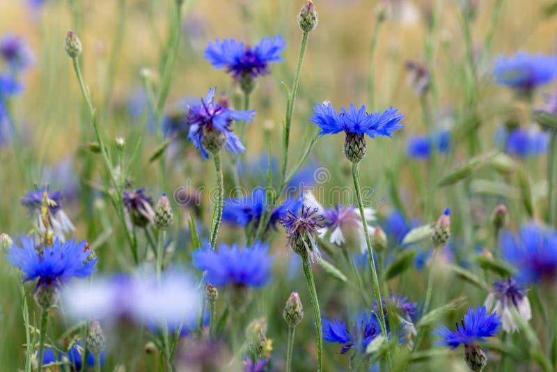 Prato con alcuni fiori blu dell'aster di autunno fotografia stock