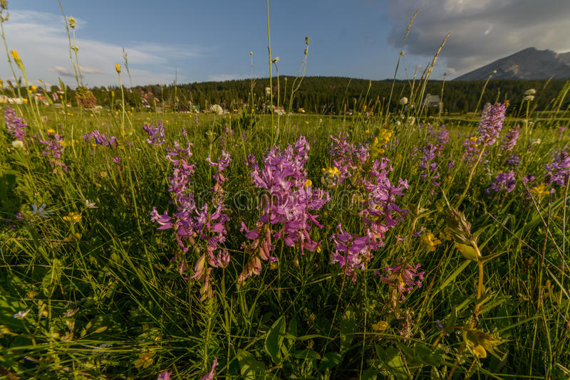 Prato con i fiori fotografie stock libere da diritti