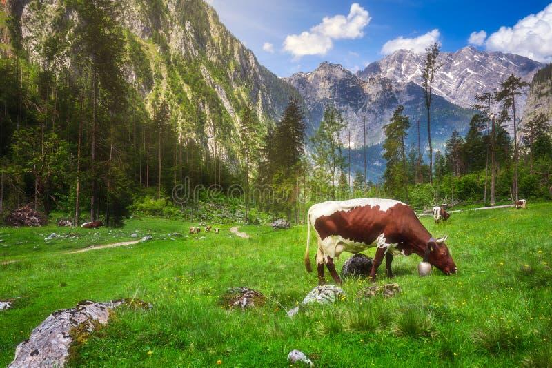 Prato con le mucche nel parco nazionale di Berchtesgaden fotografie stock