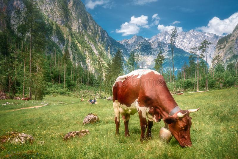 Prato con le mucche nel parco nazionale di Berchtesgaden immagine stock libera da diritti