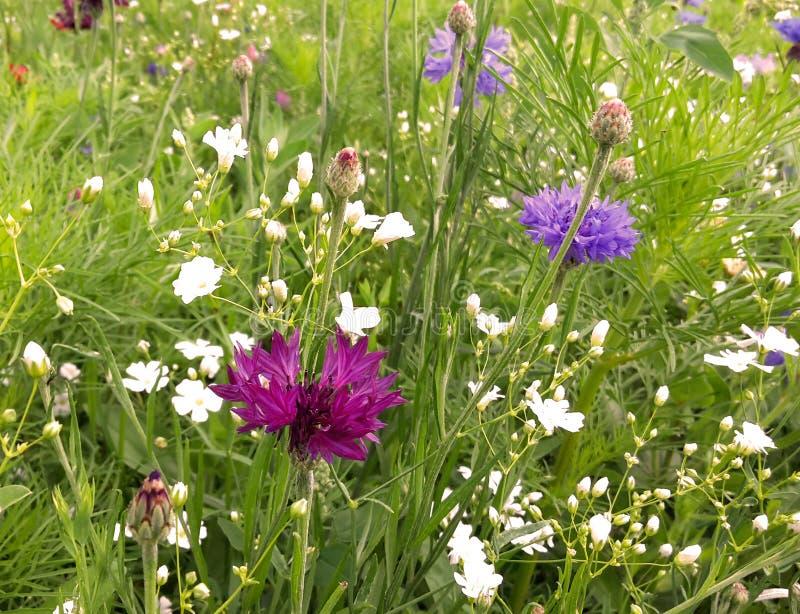 prato con vari wildflowers fotografie stock libere da diritti
