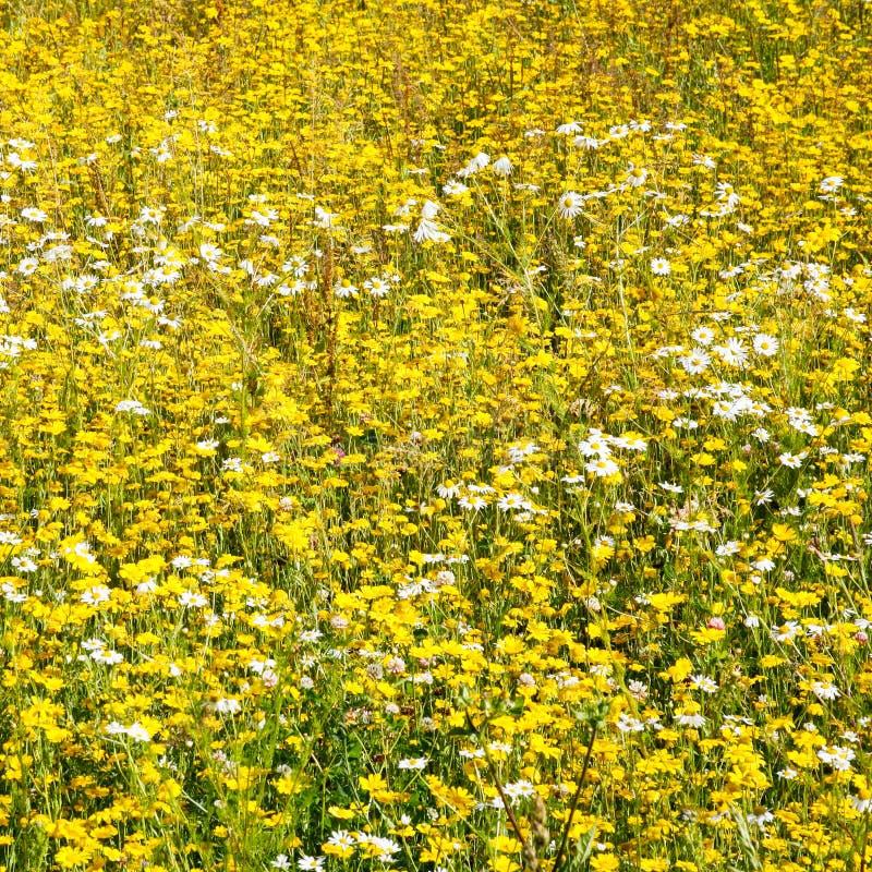 prato dai fiori della camomilla bianca e gialla fotografia stock libera da diritti