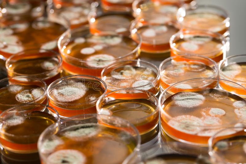 Prato de Petri com colônias das bactérias e dos fungos foto de stock royalty free