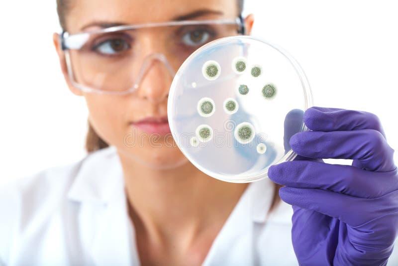 Prato de petri da verificação do assistente de laboratório com bactéria fotografia de stock