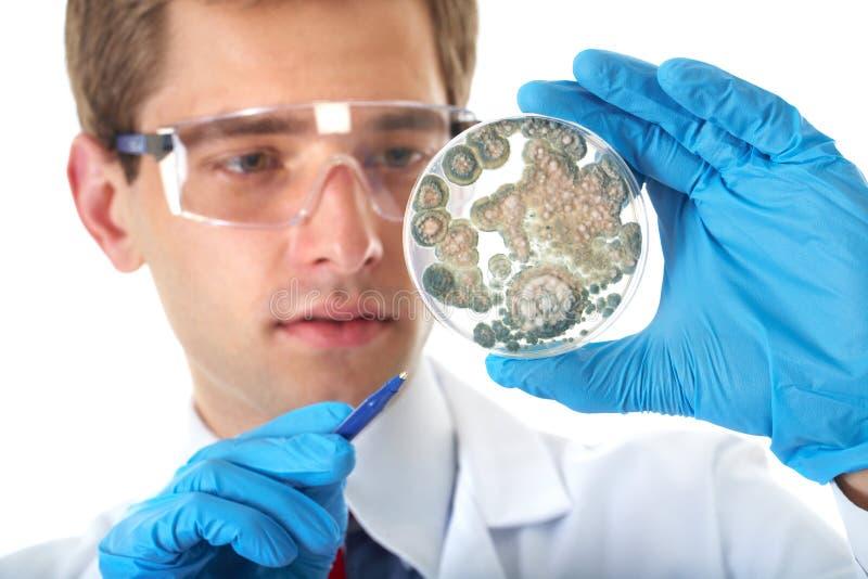 Prato de petri da verificação do assistente de laboratório com bactéria fotos de stock royalty free