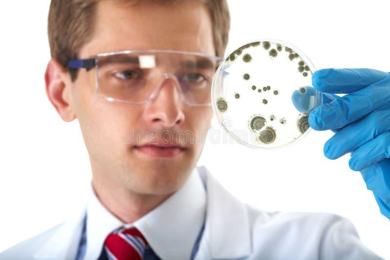 Prato de petri da verificação do assistente de laboratório com bactéria foto de stock