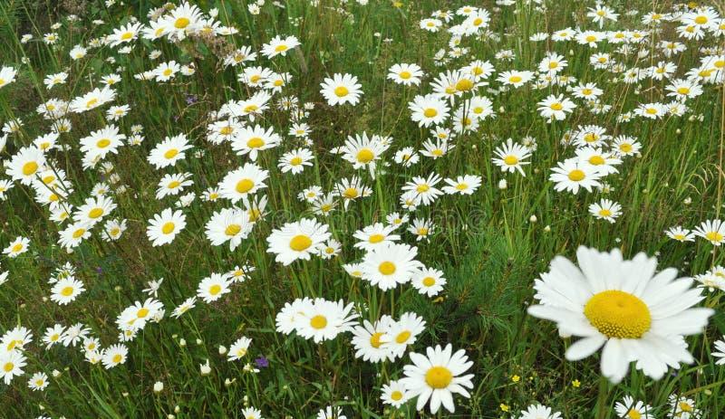 Prato dei fiori della camomilla selvatica fotografie stock