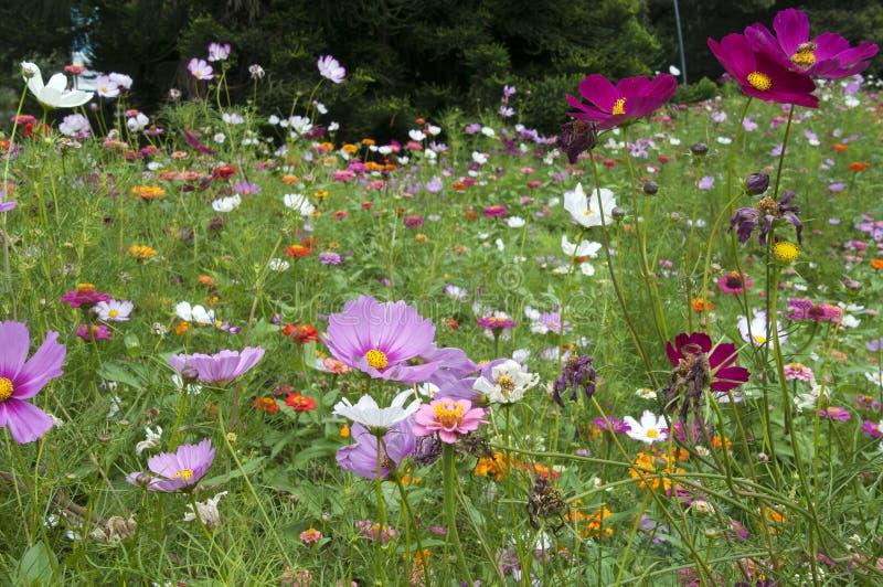 Prato dei wildflowers compreso universo e gli zinnias fotografia stock libera da diritti