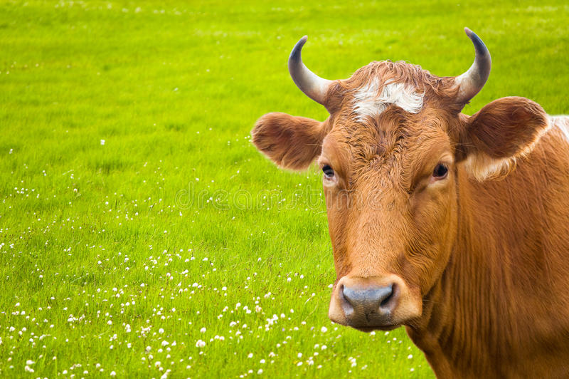 Prato del fiore e della mucca fotografia stock libera da diritti