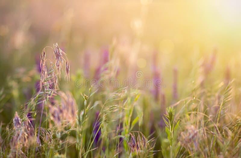 Prato del polline e dell'erba nel tramonto fotografie stock