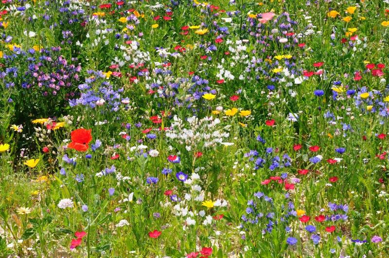 Prato del Wildflower fotografie stock