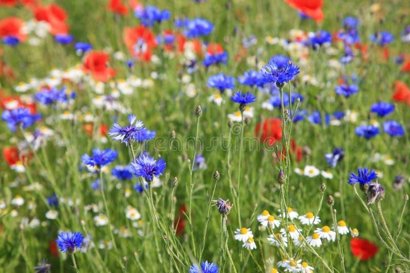 Prato del Wildflower con fiordaliso ed il papavero fotografia stock libera da diritti