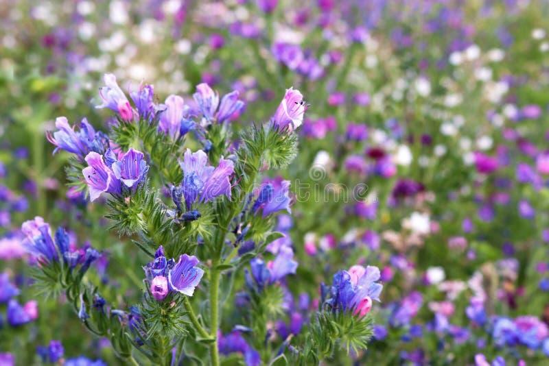 Prato del Wildflower con i fiori blu nella priorità alta fotografia stock libera da diritti