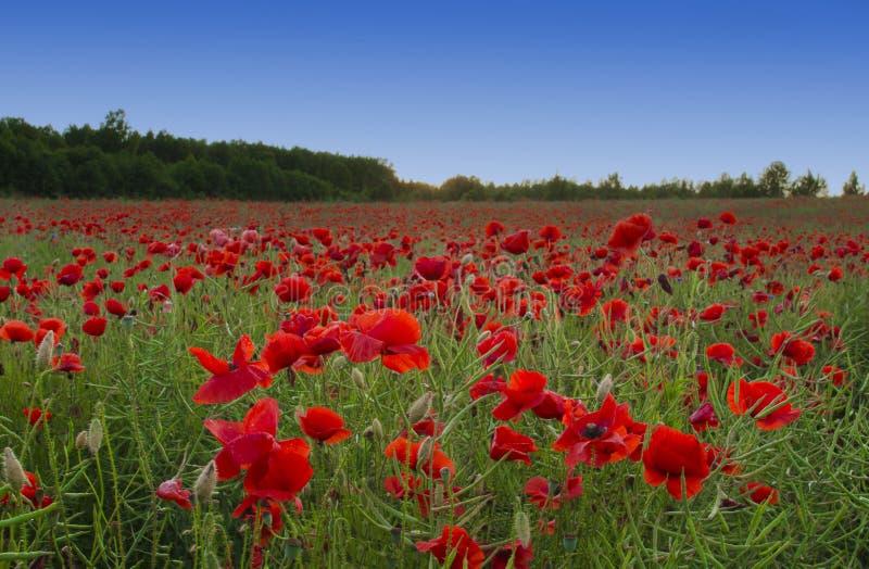 Prato del Wildflower con i papaveri fotografie stock libere da diritti