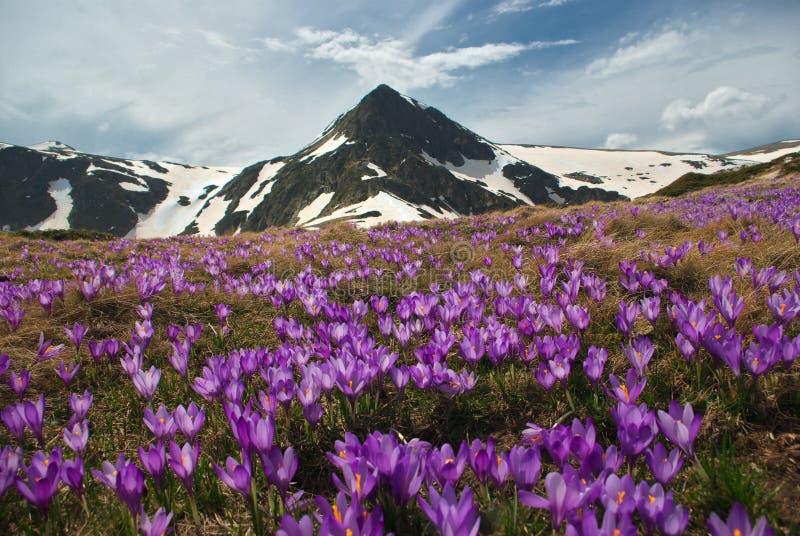Prato della montagna con croco fotografia stock