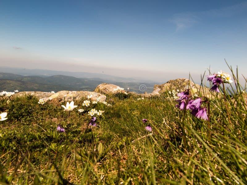 Prato della montagna in pieno dei fiori, parco nazionale di Babiogorski fotografia stock libera da diritti
