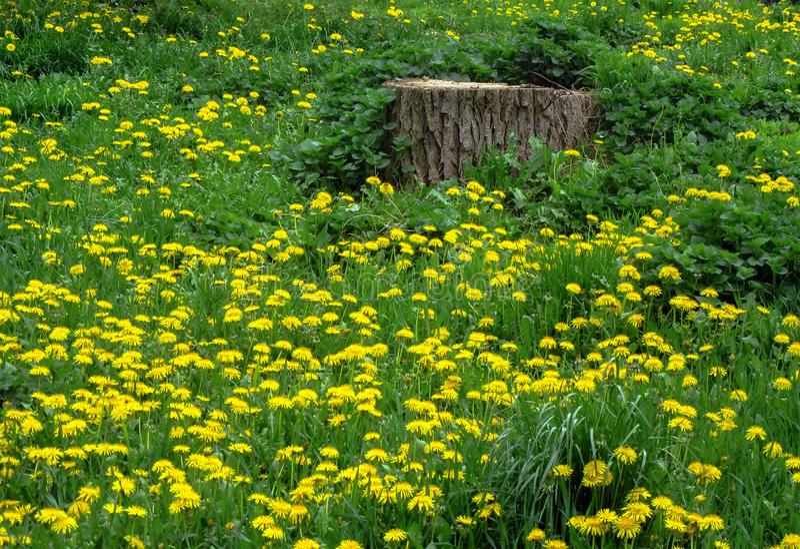Prato della primavera - erba verde fissata con il Taraxacum dei denti di leone immagine stock