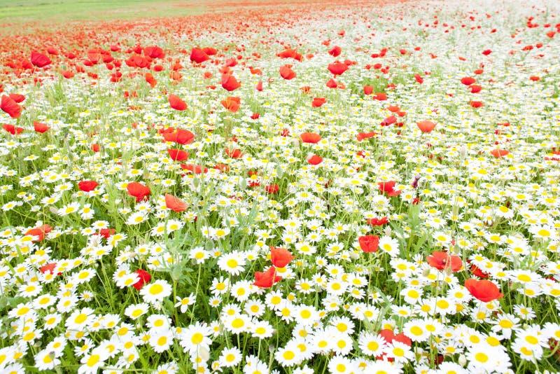 Prato di estate in fiore fotografie stock libere da diritti