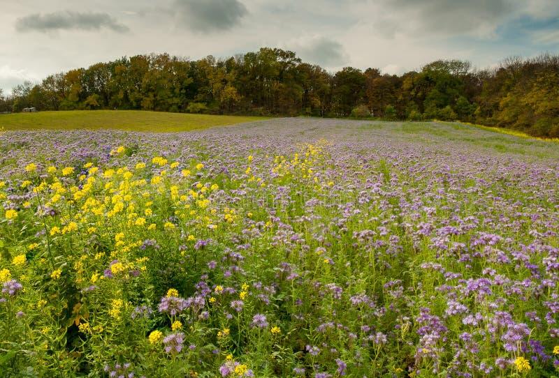 Prato di fioritura in autunno con molto Phacelia fotografia stock libera da diritti