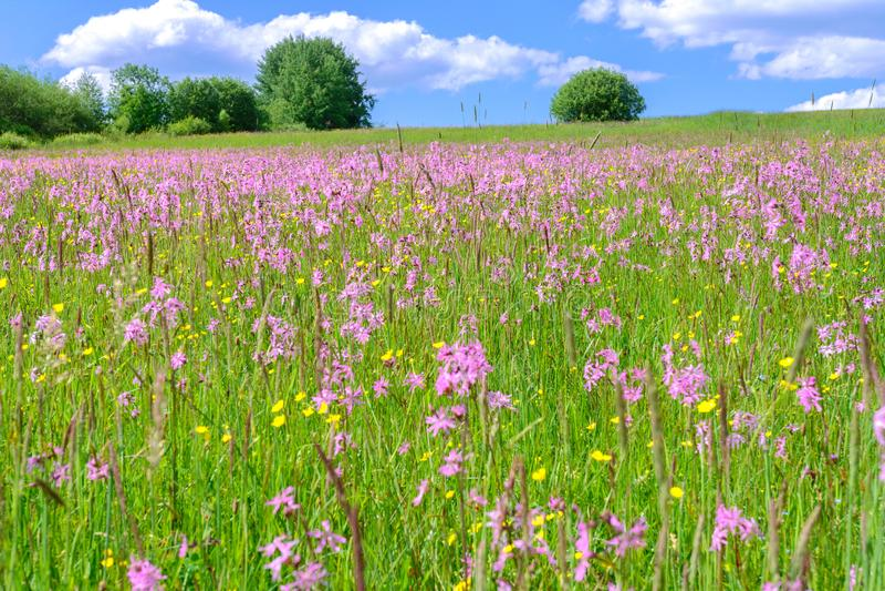 Prato di fioritura di estate immagini stock
