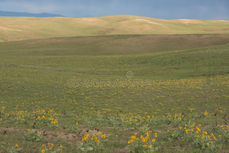 Prato di sagittata del Balsamorhiza di Arrowleaf Balsamroot dei Wildflowers gialli fotografie stock