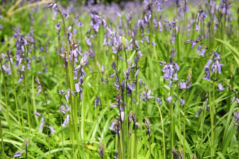 Prato di tempo di primavera con le campane blu immagini stock