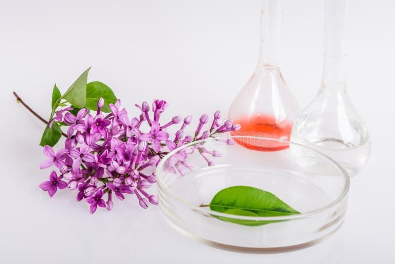 Prato do laboratório para a extração de ingredientes naturais na perfumaria fotografia de stock