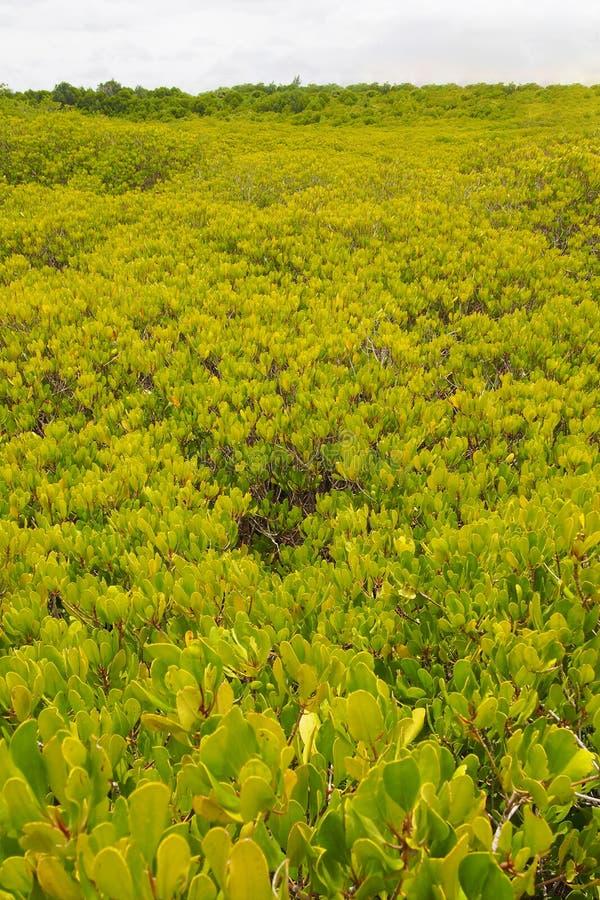 Prato dorato nelle foreste naturali della mangrovia, per sfondo naturale fotografia stock