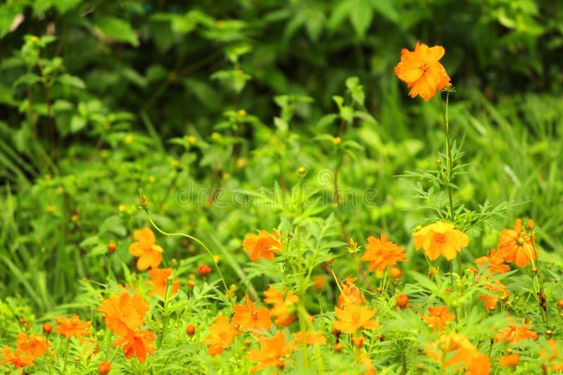 Prato giallo del fiore fotografie stock libere da diritti