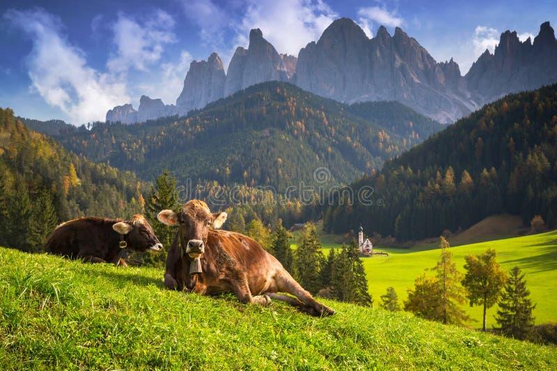 Prato idilliaco con mucche e montagne di Dolomite sullo sfondo, Santa Maddalena Italia fotografie stock