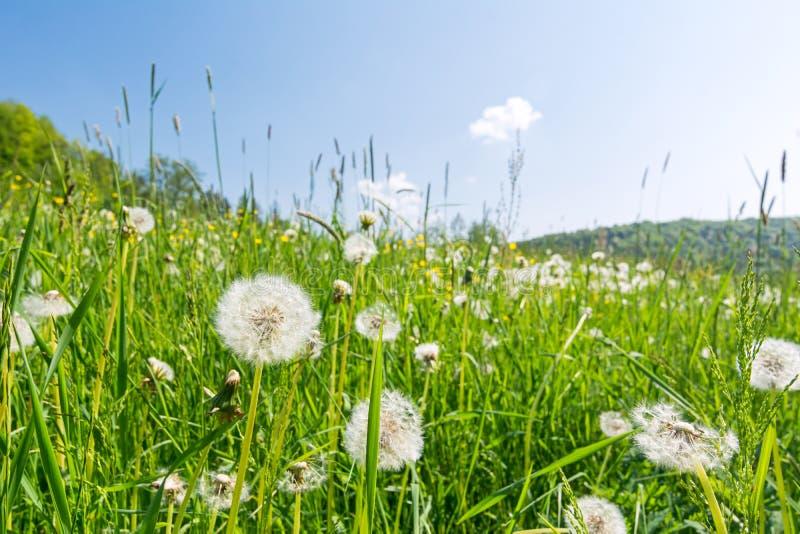 Prato idilliaco del fiore con i fiori di blowball di estate fotografia stock