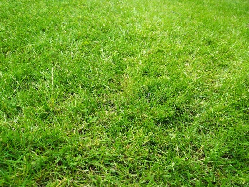 Prato inglese fresco di gras di verde del taglio immagine stock libera da diritti