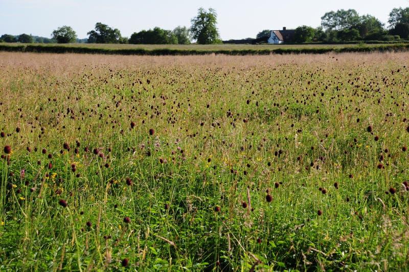 Prato nel Cotswold, Gloucestershire del Wildflower immagine stock libera da diritti
