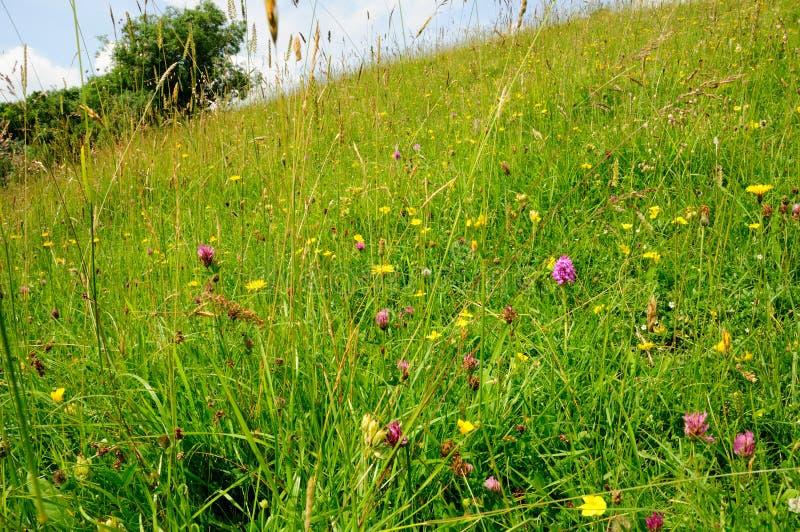 Prato nel Cotswold, Gloucestershire del Wildflower fotografia stock libera da diritti