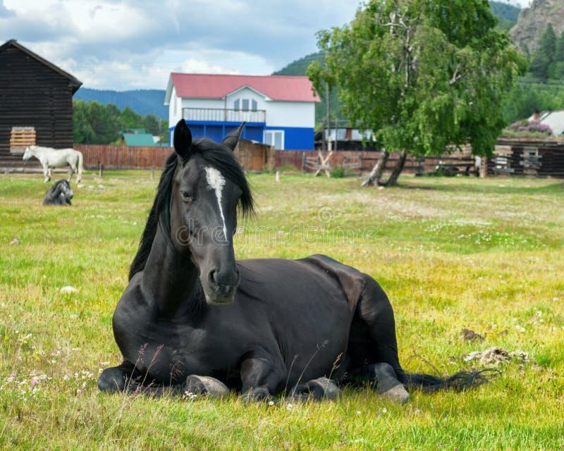 prato nero del cavallo fotografia stock libera da diritti