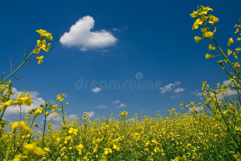 Prato pieno di sole con la violenza gialla immagini stock libere da diritti