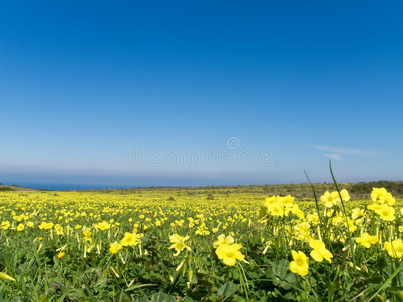 Prato riempito di fiori gialli fotografie stock