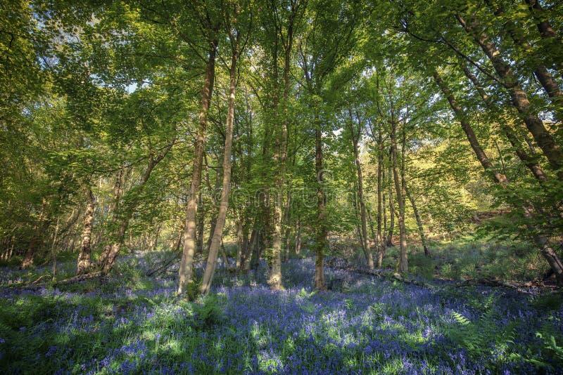 Prato selvaggio della primavera dei fiori di Bluebell fotografia stock