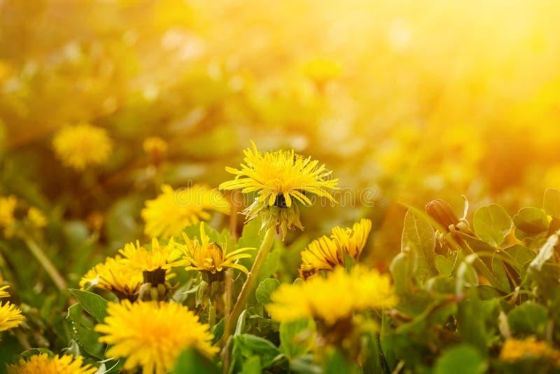 Prato soleggiato del dente di leone, fondo giallo dorato della molla della natura fotografia stock