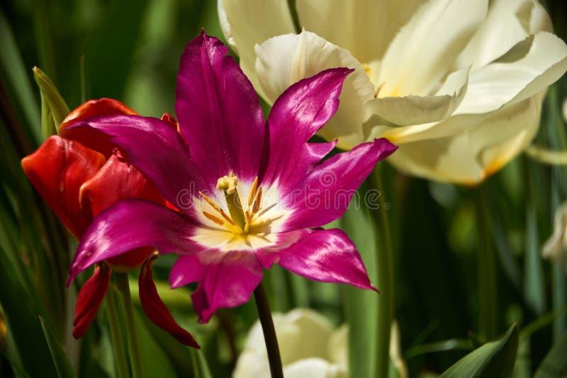 Prato variopinto luminoso del giardino del tulipano fotografie stock