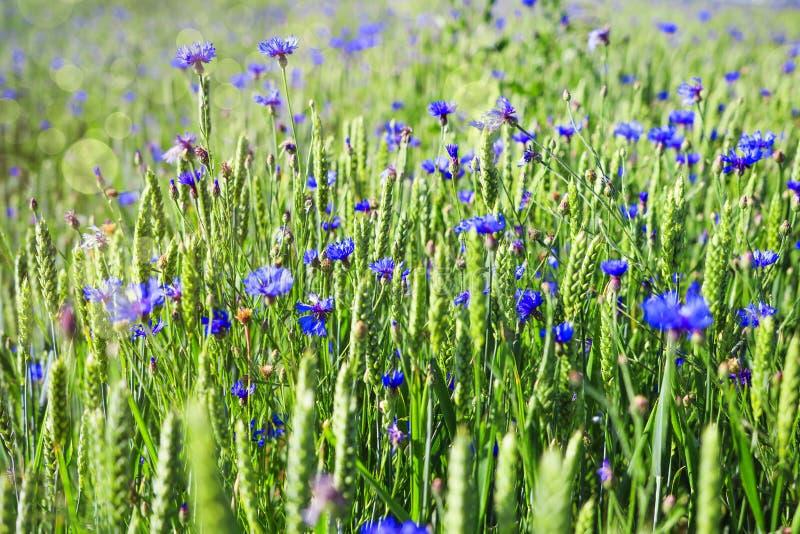 Prato verde con i fiori ed i fiordalisi blu Priorità bassa della sorgente Campo di estate con i fiori immagini stock libere da diritti