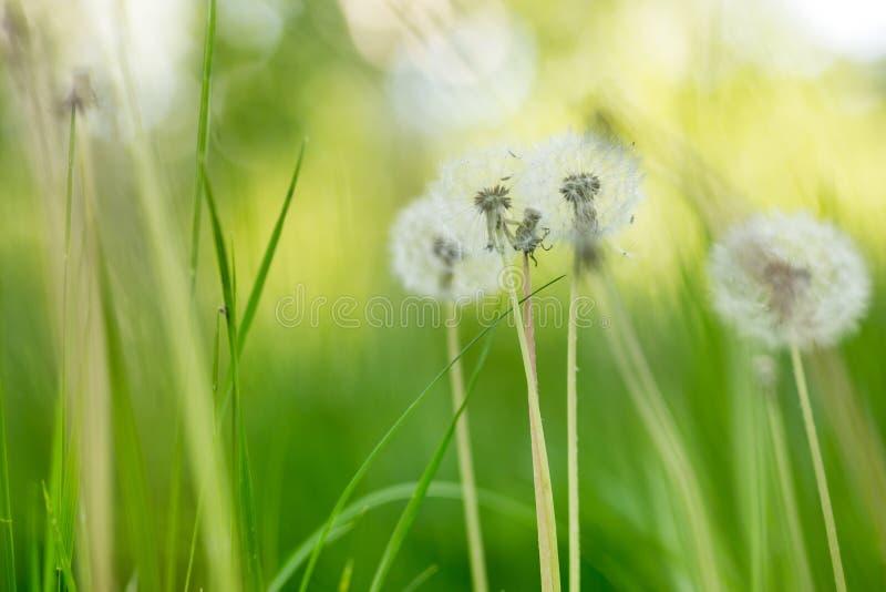 Prato verde del freh con i bei fluffydandellions Fondo molle naturale della primavera o di estate Profondità del campo poco profo fotografie stock libere da diritti