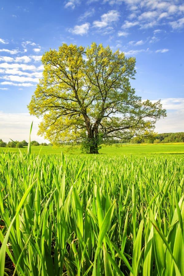 Prato verde della primavera con il grande albero il giorno soleggiato luminoso Paesaggio della primavera della natura verde Campo fotografia stock libera da diritti