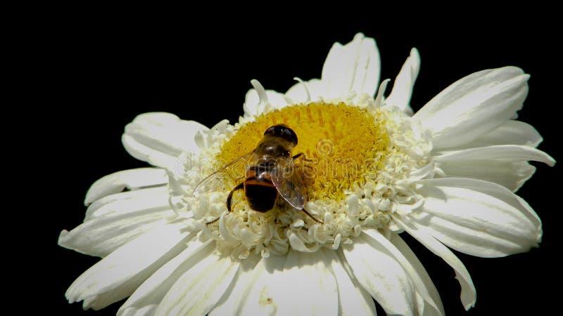 Pratolina con l'ape 1 fotografia stock libera da diritti