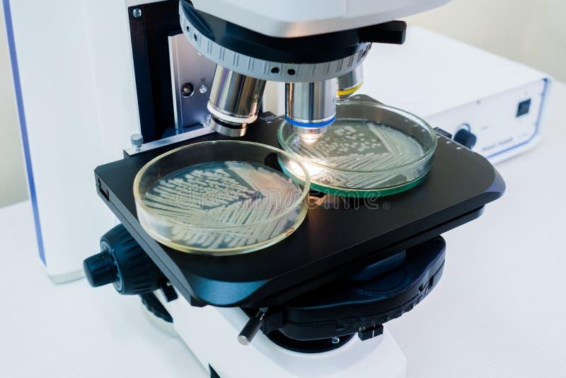 Pratos de Petri sob o microsc?pio fotos de stock