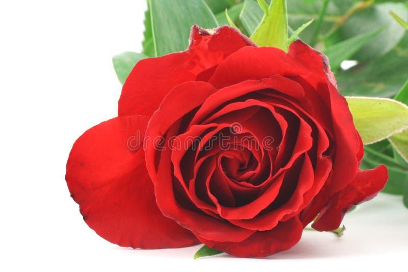 prawdziwa czerwona róża makro zdjęcia stock