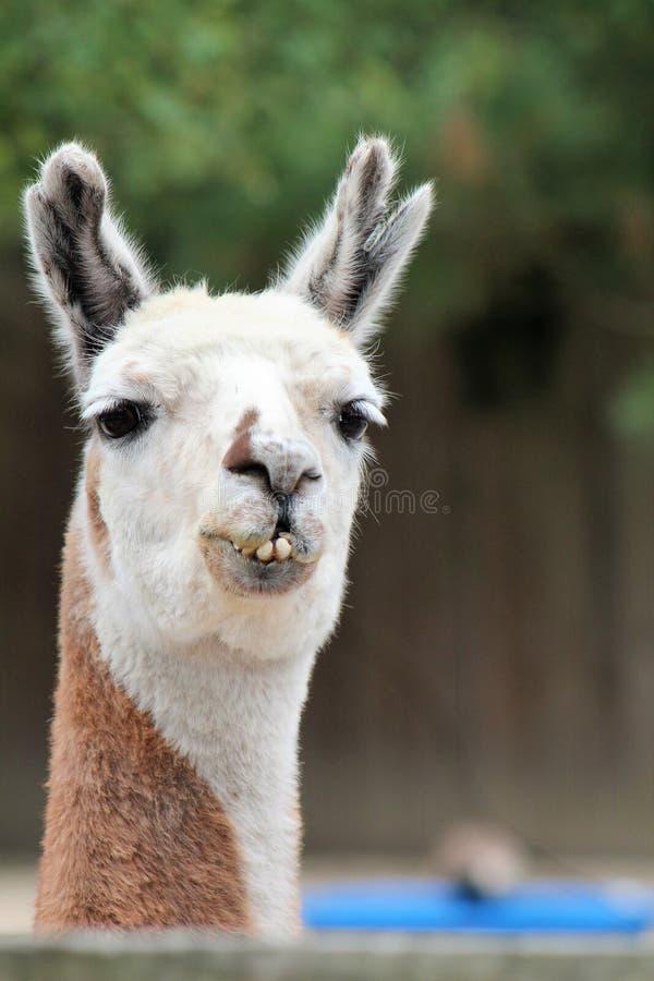 Prawdziwa lama zdjęcia royalty free