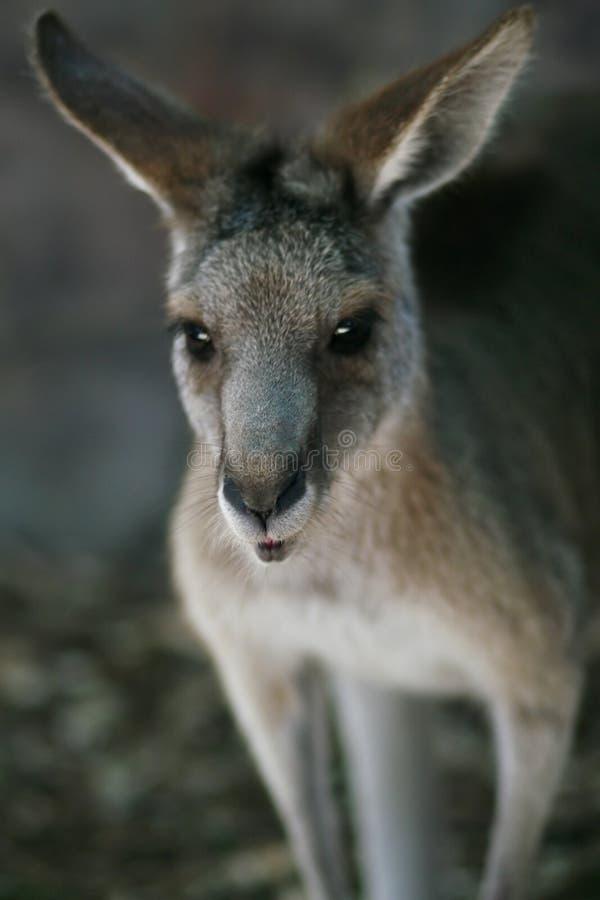 prawdziwa twarz australijskich obraz royalty free